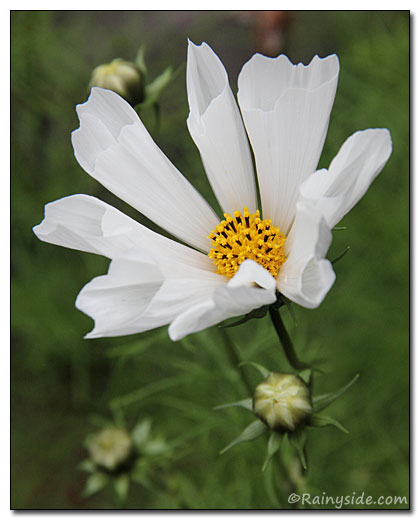 Cosmos White Seashell Flower