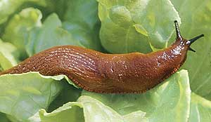 Slug sliming the lettuce.