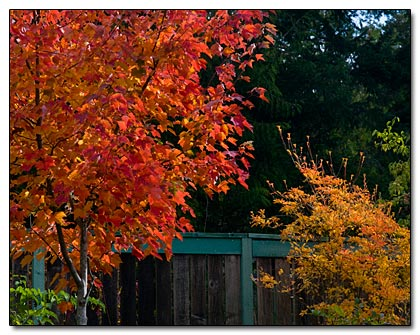 Acer 'Fairview Flame' and Enkianthus shrub