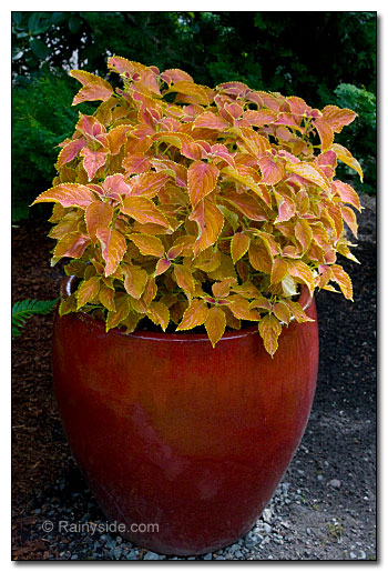 Coleus in red pot