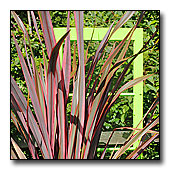 Phormium and window