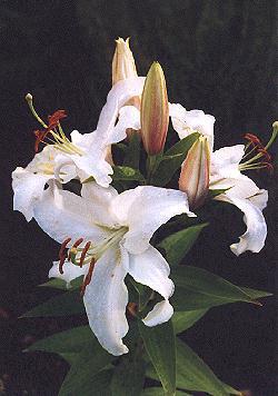 Lilium white stargazer oriental lily white stargazer mightylinksfo