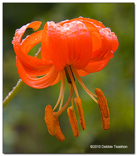 coral lily