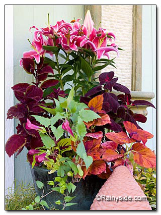 Lily and Coleus Combo