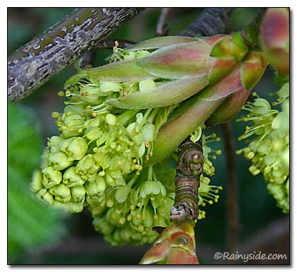 Spring Flowers Of The Big Leaf Maple Tree Acer Macrophyllum Closeup