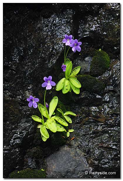 Pinguicula vulgaris growing in moist seepage.
