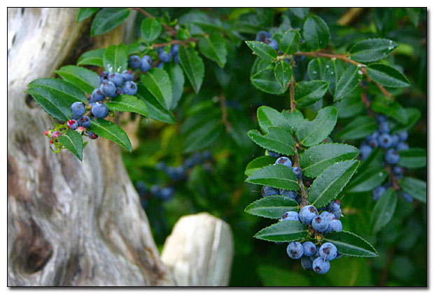 Evergreen leaves and deep blue huckleberries.