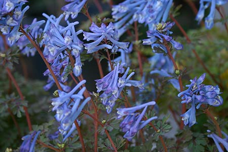 Corydalis flexuosa purple leaf corydalis flowers mightylinksfo Image collections