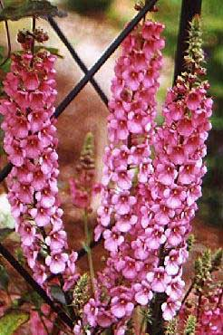 Height 12 Inches 30 Cm Width 20 50 Flowering Period Summer Attributes Tall Racemes Of Pink Flowers Leaf