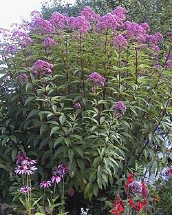 Eupatorium purpureum atropurpureum joe pye weed flowering period mid summer to early autumn flowering attributes fragrant corymb like panicles of violet purple flowers mightylinksfo