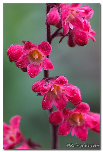 Heuchera 'Hollywood' Flower