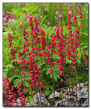 Heuchera 'Hollywood' Flowers
