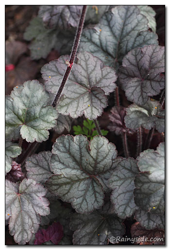 Heuchera 'Hollywood' Foliage