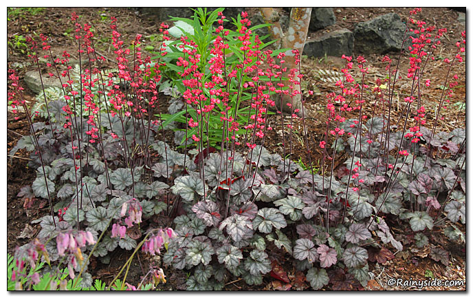 Drift of Heuchera 'Hollywood'