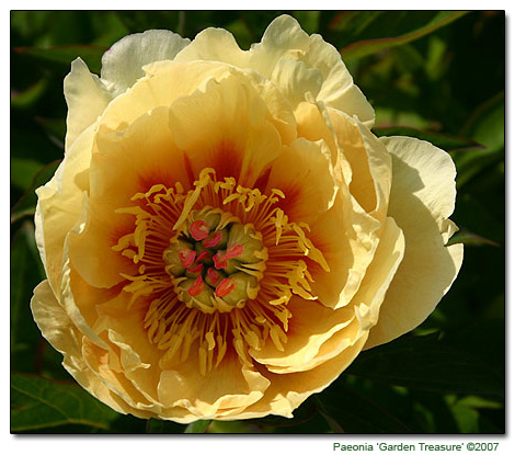 Golden Peony. Geographical Origin: Garden. Plant Group: Woody Perennial.  Hardiness: Sunset Zones: A1 A3, 1 11, 14 20. USDA Zones: 4 8. Heat Zones:  8 1.