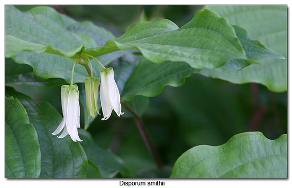 Disporum smithii