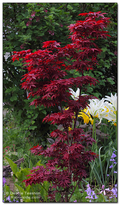 Acer Palmatum Twombly S Red Sentinel