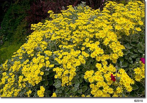 Cosmos Usda Zones 3 10 Flower