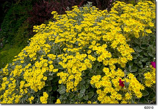 Brachyglottis compacta daisy bush daisy bush mightylinksfo