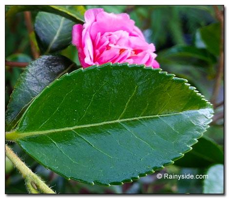 Camellia Sasanqua Winter S Joy