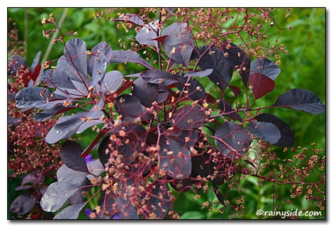 Cotinus coggygria 'Royal Purple' | SMOKE TREE