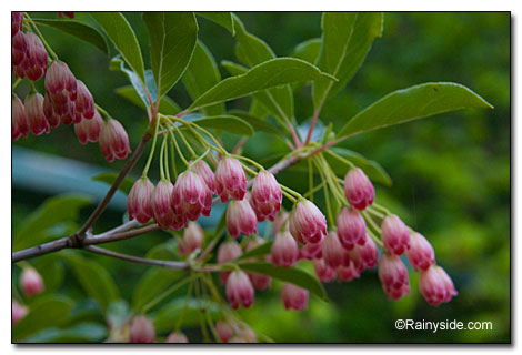 Red Vein Enkianthus
