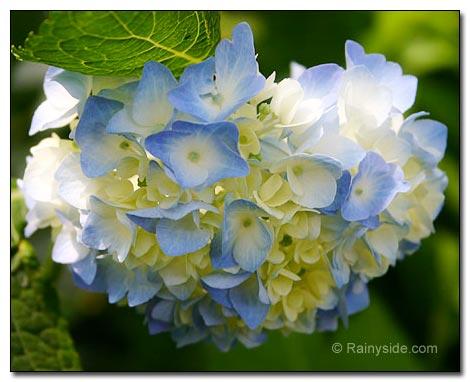 New Hydrangea Flower