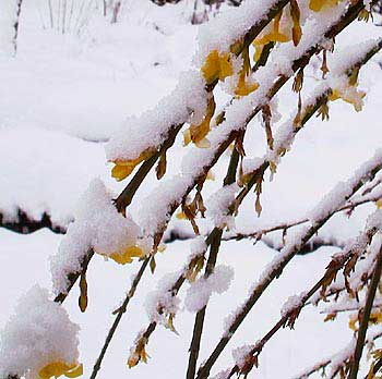 Winter jasmine flowering in snow