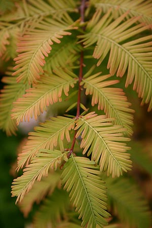 Golden dawn redwood