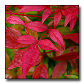 heavenly bamboo's red leaves