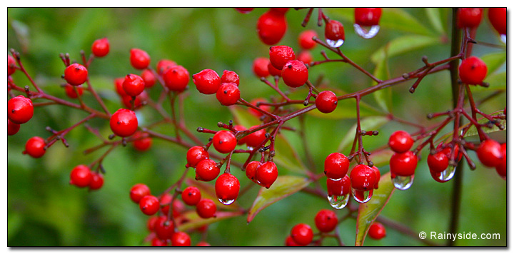 Nandina domestica berries