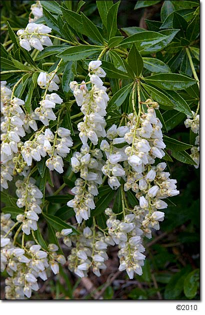 Pieris Prelude Lily Of The Valley Bush