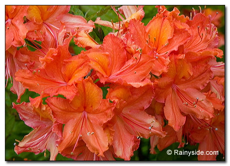 Orange Gibraltar Azalea flowers