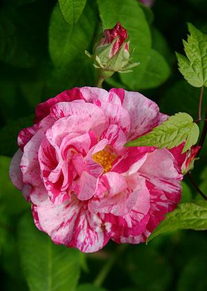 Rosa gallica 'Versicolor' | ROSA MUNDI