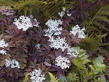 60f87192a013 Sambucus nigra  Purpurea