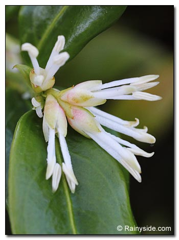 closeup of Sarcococca confusa flowers
