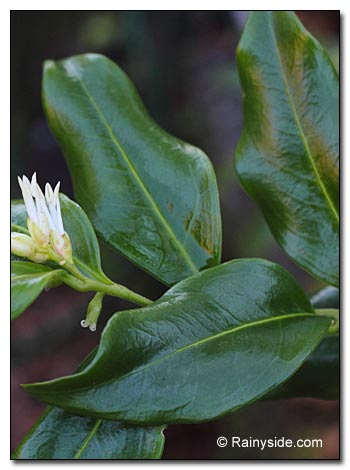 Sarcococca confusa leaves